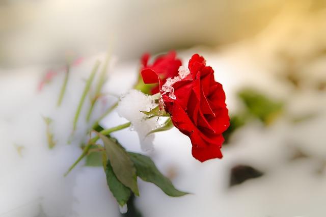 rose-3240023_640